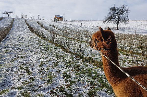 Winter-Wanderung mit Alpaka